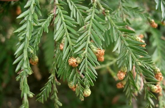 Секвойя вечнозелёная - фото 5395