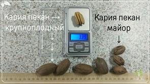 Кария пекан крупноплодный