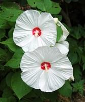 Гибискус травянистый, микс цветов