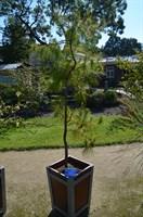 Сосна текунуманская