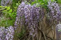 Глициния пышноцветущая фиолетовая