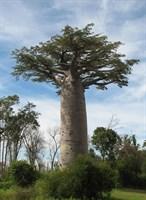 Адансония Грандидье (Баобаб гигантский)