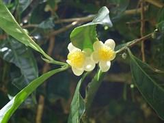Камелия Китайская (Чай из Адыгеи)