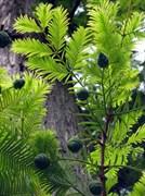 Таксодиум (кипарис) болотный