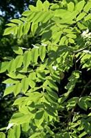 Орех Зибольда продолговатый крупноплодный